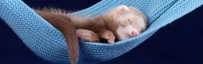 Ferrets Sleeping