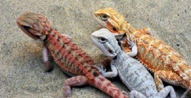 bearded dragon colors