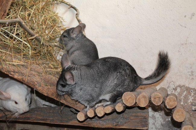 chinchilla - exotic pet