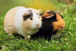 guinea pig exotic pet