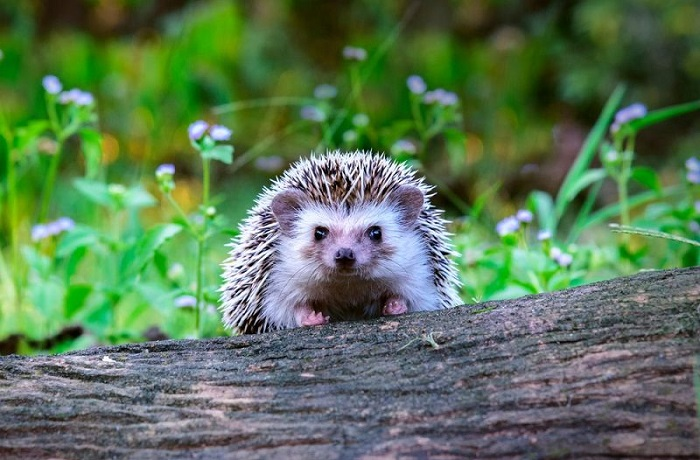 hedgehog lifespan