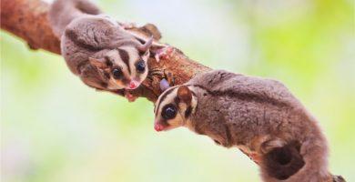 sugar glider exotic pets