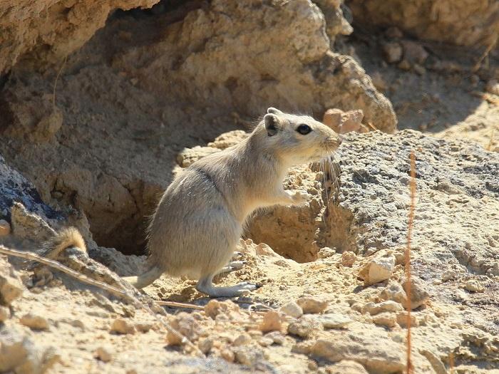 Great Gerbil in gobi desert