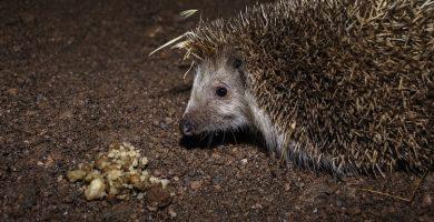 Hedgehogs Nocturnal - Exotic Pet