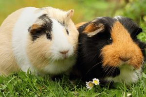 Do Guinea Pigs Need to Be in Pairs