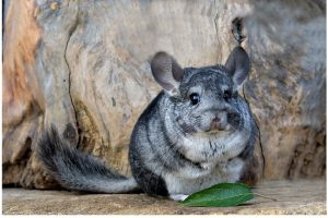 How Long Do Short Tailed Chinchillas Live - best exotic pets