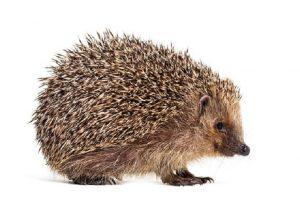 hedgehog spines - How do you deal with hedgehog spines