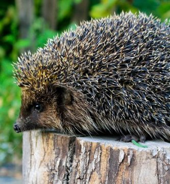 hedgehogs facts about their habitat