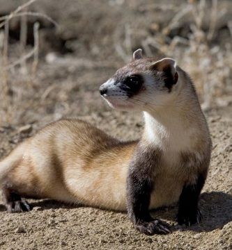 ferret facts you need to know