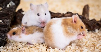 hamster- Syrian hamster - gold hamster